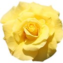 yellow rose 01