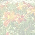 Day lily background