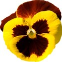 jThompson_yellowPansy_flower